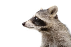 Portrait of a raccoon in profile Royalty Free Stock Image