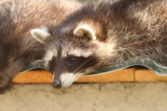 Portrait of a raccoon in zoo Royalty Free Stock Image