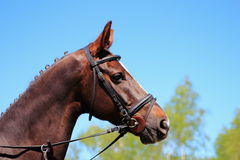Portrait of a racehorse. Before a competition Royalty Free Stock Photos