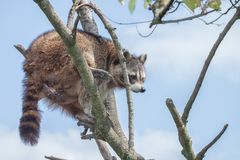 Racoon climbing on a tree stock photo