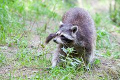 Portrait of a racoon in a nature scene Royalty Free Stock Photo