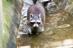 Portrait of a racoon in a nature scene Stock Photos