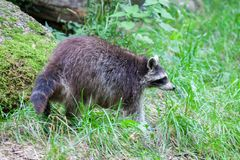 Portrait of a racoon in a nature scene Stock Images