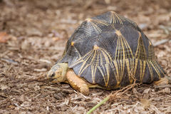 Portrait of radiated tortoise Royalty Free Stock Image