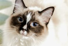 Portrait of a Ragdoll cat stock images