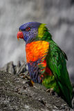 Portrait of a Rainbow Lorikeet, Sunbury, Victoria, Australia, September 2016. A portrait of a rainbow lorikeet in Sunbury, Victoria, Australia royalty free stock image
