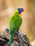 Portrait of  rainbow lorikeet Royalty Free Stock Images