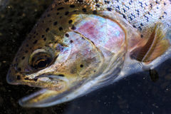 Portrait of rainbow trout Royalty Free Stock Photography