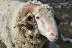 Portrait of ram Stock Image