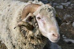Portrait of ram. (Ovis aries stock image