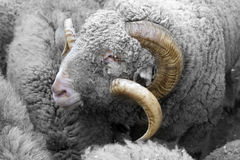 The portrait of a ram Stock Image