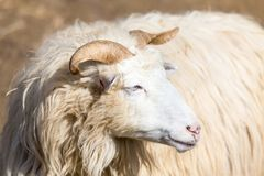 Ram or rammer, male of sheep. Portrait of ram or rammer, male of sheep in rural farm, easter symbol Stock Photo