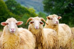 Portrait of ram in the sheep herd. Leadership in complicates relationship concept. shallow depth of field Royalty Free Stock Images