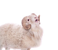 Portrait Of ram On White Royalty Free Stock Photo