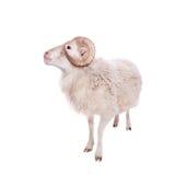 Portrait Of ram On White Stock Photos