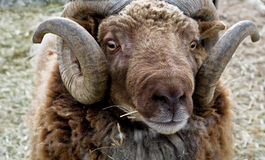 Portrait of a Rambouillet Ram Royalty Free Stock Images