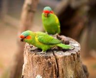 Portrait rapide de perroquet Photographie stock