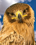 Portrait of a Raptor. Portrait of a beautiful raptor or bird of prey royalty free stock photography