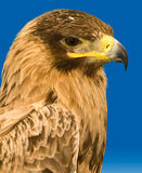 Portrait of a Raptor Royalty Free Stock Photo
