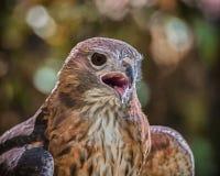 Portrait of a Raptor Stock Photo