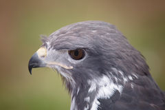 Portrait of a Raptor Royalty Free Stock Photos