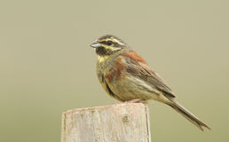 A portrait of a rare Cirl Bunting Emberiza cirlus. Royalty Free Stock Image