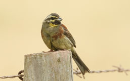 A portrait of a rare Cirl Bunting Emberiza cirlus. A portrait of a rare Cirl Bunting Emberiza cirlus sitting on a post Stock Images