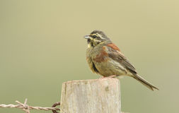 A portrait of a rare Cirl Bunting Emberiza cirlus. Royalty Free Stock Photos