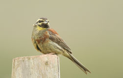 A portrait of a rare Cirl Bunting Emberiza cirlus. A portrait of a rare Cirl Bunting Emberiza cirlus sitting on a post Royalty Free Stock Photo