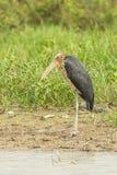 Portrait of Rare female Lesser adjutant stork Royalty Free Stock Photos