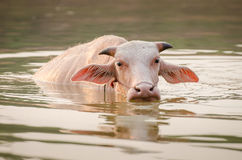 Portrait of rare white Asia water buffalo, albino carabao Royalty Free Stock Photography