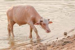 Portrait of rare white Asia water buffalo, albino carabao Royalty Free Stock Image
