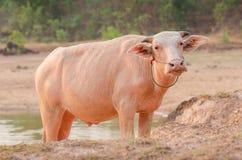 Portrait of rare white Asia water buffalo, albino carabao Royalty Free Stock Photography