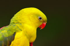 Portrait of rare yellow and green parrot. Regent parrot or Rock pebbler, Polytelis anthopeplus, detail of light green parrot, Aust Royalty Free Stock Images