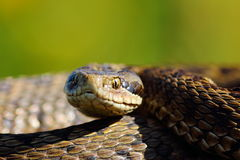 Portrait of the rarest snake in europe Royalty Free Stock Images