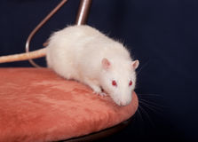 Portrait of rat Stock Photo