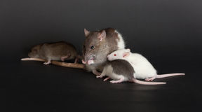 Portrait rat family Stock Photography