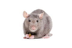 Portrait of a rat holding a piece of food in its paws Stock Image