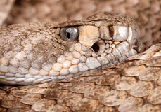 Portrait of a Rattlesnake. Royalty Free Stock Photo