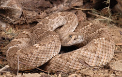 Portrait of a Rattlesnake. Western Diamondback Rattlesnake (Crotalus atrox Royalty Free Stock Photography