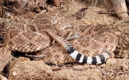 Portrait of a Rattlesnake. Stock Images