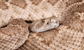 Portrait of a Rattlesnake. Western Diamondback Rattlesnake (Crotalus atrox Royalty Free Stock Photo