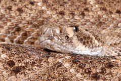 Portrait of a Rattlesnake. Stock Image