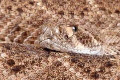 Portrait of a Rattlesnake. Stock Image