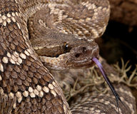 Portrait of a Rattlesnake. Southern Pacific Rattlesnake (Crotalus viridis helleri Royalty Free Stock Photo