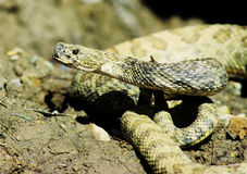 Portrait of rattlesnake Royalty Free Stock Photography