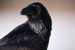 Portrait of a raven Stock Image