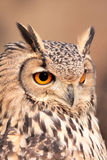 Portrait of real owl Stock Photos