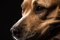 Portrait of Red American Staffordshire Terrier Dog Looking up stock photos