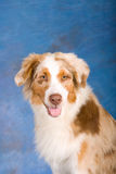Portrait of Red Australian Shepherd Royalty Free Stock Image